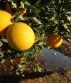 Pese a la mayor producción total de cítricos, la de naranjas caerá. Foto: Archivo El País