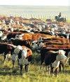 Muy pronto la genética uruguaya renovará sangre en cabañas de EE.UU. Foto. A. Colmegna