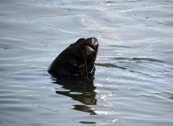 El lobo de mar en Piriápolis. Foto: Teresa Gomeztejedor