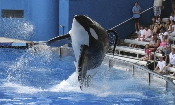 Tilikum en uno de sus shows en SeaWorld. Foto: Reuters