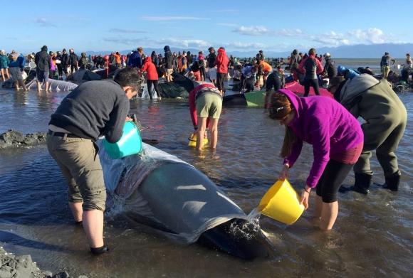 Ballenas encalladas en Nueva Zelanda. Foto: Reuters