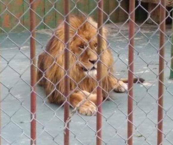 El león del zoo de San Carlos irá a una reserva en EE.UU. Foto: Luis Pérez