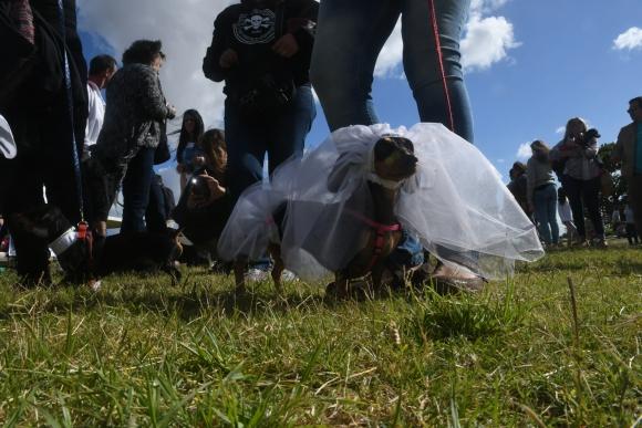 El segundo Encuentro de perros salchichas se celebró en el Faro de Punta Carretas. FOTO: Francisco Flores