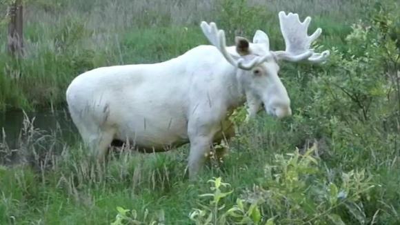 El alce blanco registrado en Suecia. Foto: Captura de video