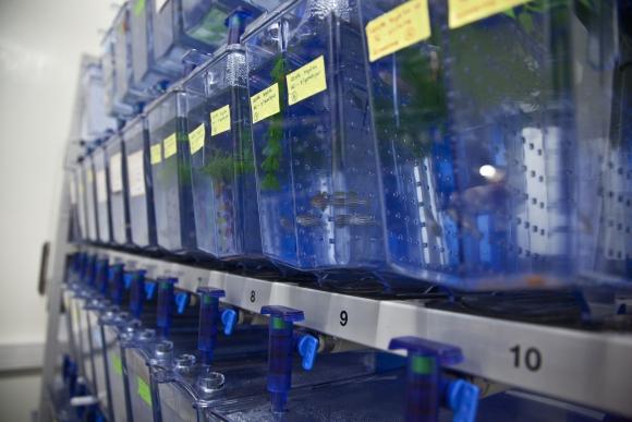 El Instituto Pasteur cuenta con decenas de pequeños acuarios en los que se colocan decenas de ejemplares de una misma cepa. Foto: M. Castiñeiras