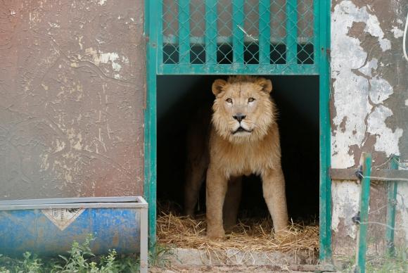 Simba y Lula vivían en el zoo privado de Mosul, junto a otros 40 ejemplares. Foto: Reuters