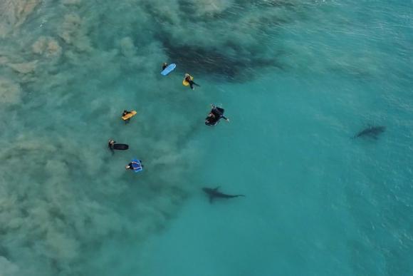 TIburones en Red Bluff Beach. Foto: Shaun Scott,.