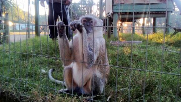 Totó: el mono de José y María, atracción del bioparque de Melo. Foto: N. Araújo
