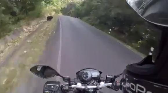 Un motociclista esquiva un oso en una ruta. Foto: Captura de video