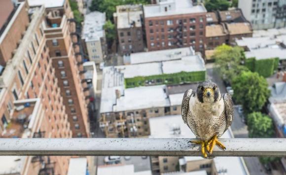 Un halcón peregrino en Chicago. Foto: Luke Massey.