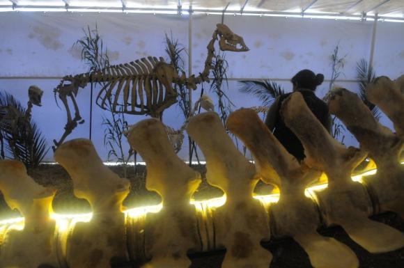 Preparar la ballena para la exposición demandó cinco meses de trabajo. Foto: Ariel Colmegna