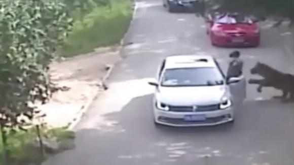Tigre ataca a una mujer en un safari en Pekín. Foto: Captura