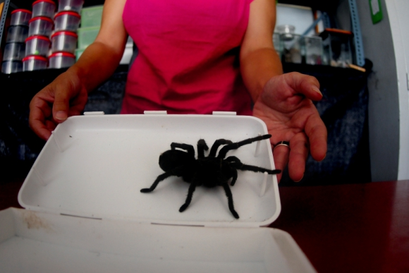 En una pequeña caja de plástico viajaban 10 de estas arañas. Foto: F. Ponzetto.