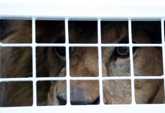 Envían a Sudáfrica a 33 leones rescatados de circos. Foto: Reuters.