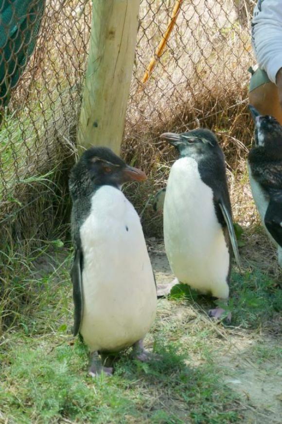 Encuentran pingüinos de penacho amarillo. Foto: Carlos Figueredo
