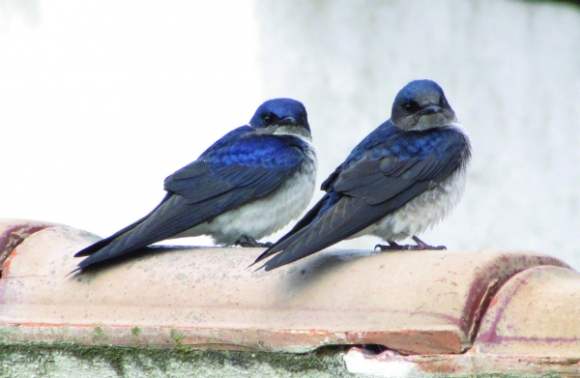 Golondrinas azules grandes (Foto: Gabriel Rocha)