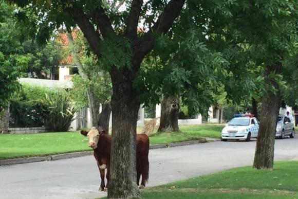Un toro suelto en Carrasco. Foto: @tweeterandrea.