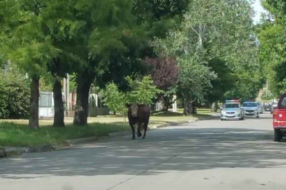 Un toro suelto en Carrasco. Foto: @merotero.