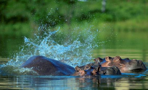 Hipopótamos en la Hacienda Nápoles de Colombia. Foto: AFP.
