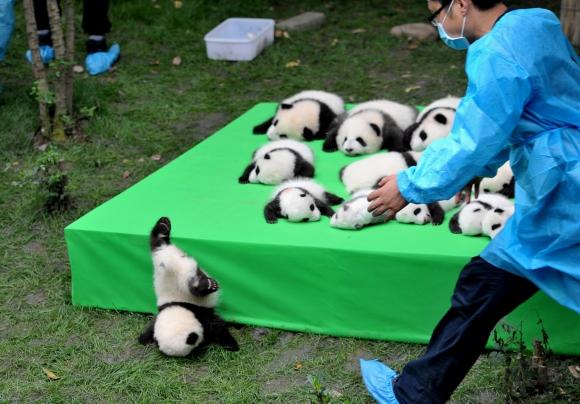 23  pandas presentados en China. Foto: Reuters