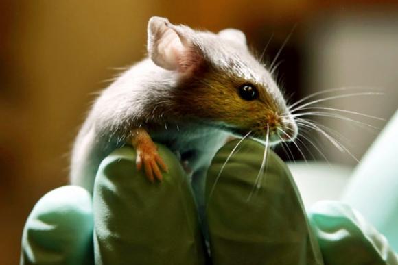 Detectan actividad cerebral en ratas después de muertas.