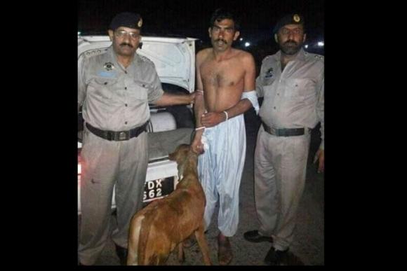 Un hombre intentó robar una vaca llevándola en el asiento trasero del auto. Foto: Iftikhar Firdous