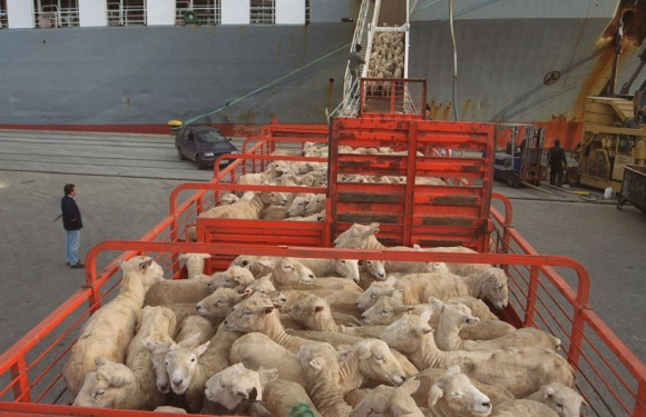 Desde el predio hasta el frigorífico, los animales se envían en camiones. Foto: A. Colmegna