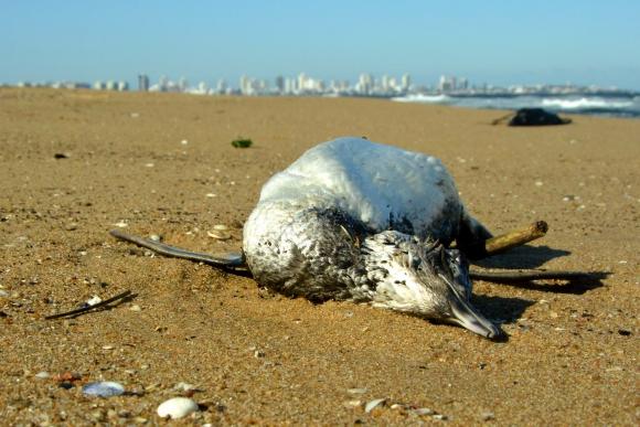 Pinguinos muertos en Playa Mansa de Maldonado. Foto: Ricardo Figueredo
