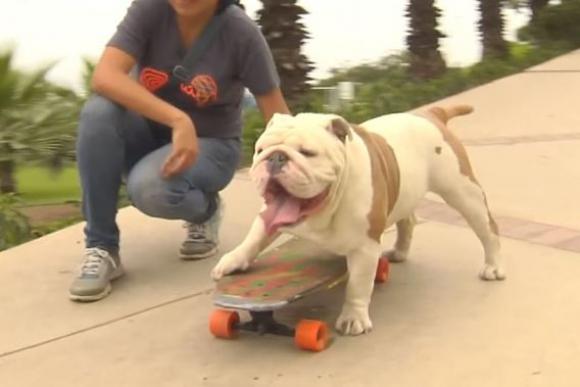 Otto, el bulldog skater que rompió un récord Guinness.