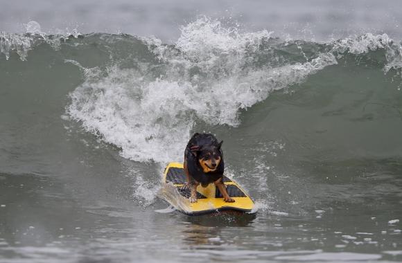 Competencia de perros surfistas en California. Foto: Reuters