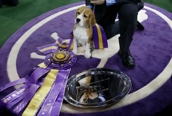 La Beagle Miss P ganó el premio de