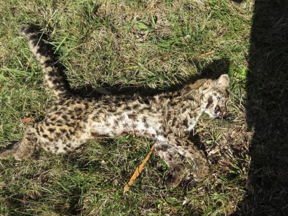Según la ONG los zorrillos y gatos monteses son los animales muertos más hallados.