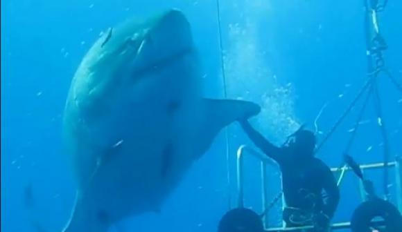 Enorme tiburón blanco en las profundidades de Isla Guadalupe (México).