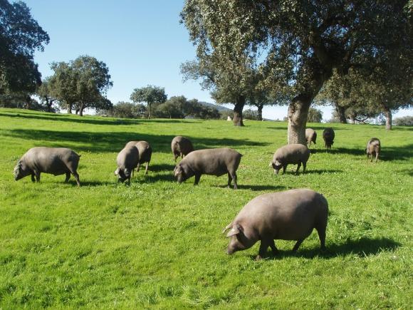 El cerdo se cría en la dehesa, un bosque de encinas y alcornoques.