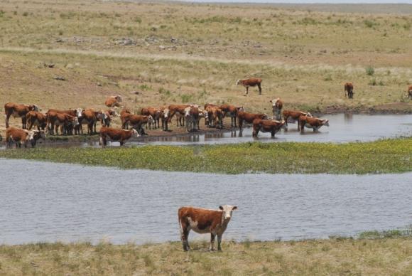 La gran abundancia de pasto en los campos ayudó al ganado.