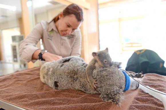 Koala. Foto:Australia Zoo Wildlife