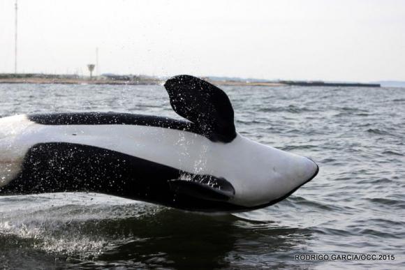 Una orca de 5 metros se avistó en Rocha. Foto: Rodrigo García / OCC