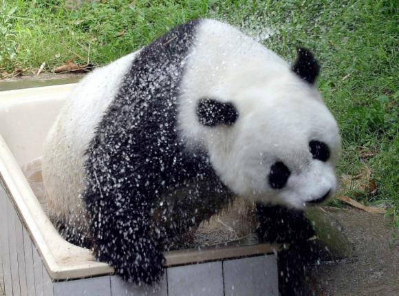 Basi, el panda más viejo del mundo en China. Foto: EFE