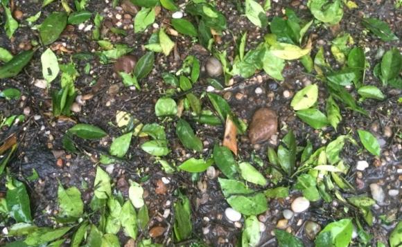El granizo dañó plantíos de arándanos y cebollas. Foto: Gentileza del lector