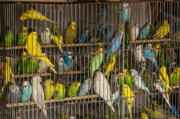 Presentan firmas contra cr a de aves en cautiverio for Cria de peces en cautiverio