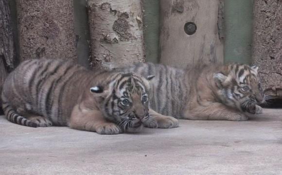 Tigres zoologico de praga