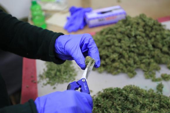 El 63% de los inscriptos para acceder a la marihuana regulada opta por las farmacias. Foto: EFE