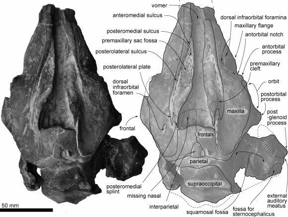 """Ilustración cedida que muestra el cráneo de un pequeño delfín, bautizado como """"Urkudelphis Chawpipacha"""". Foto: EFE"""
