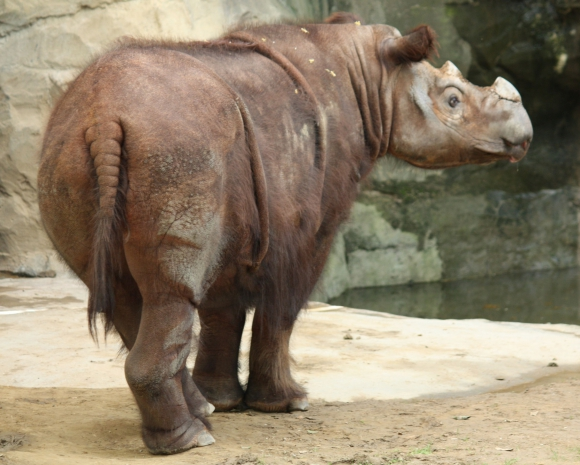 Rinoceronte de Sumatra. Foto: Wikimedia Commons