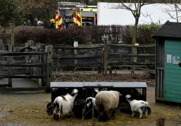 Los animales que estaban cerca de la zona del fuego fueron trasladados. Foto: Reuters.
