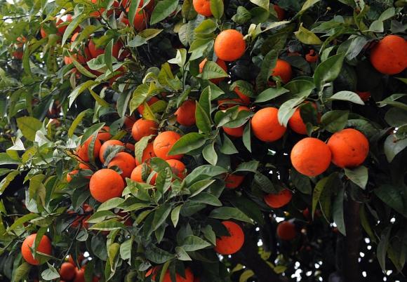 Caputto acordó con el comprador del campo brindar el servicio de envasado de la fruta. Foto: AFP