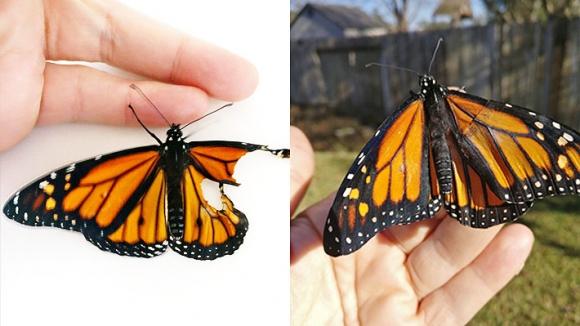 Mariposa transplantada