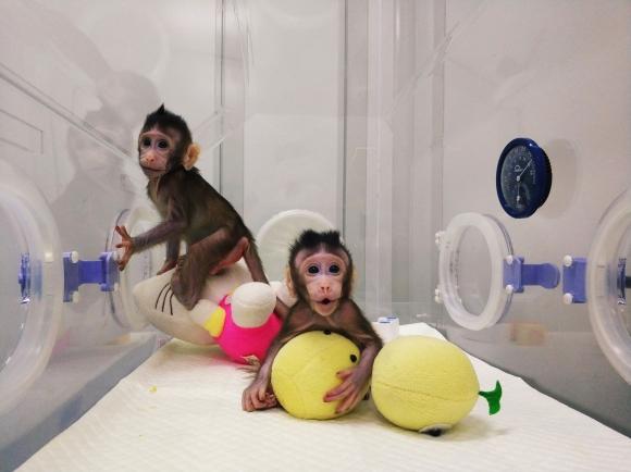 Los dos monos clonados