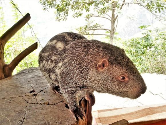 Pacarana o Dinomys branickii. Foto: Wikimedia commons