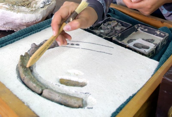 Los dientes del dinosaurio herbívoro. Foto: EFE